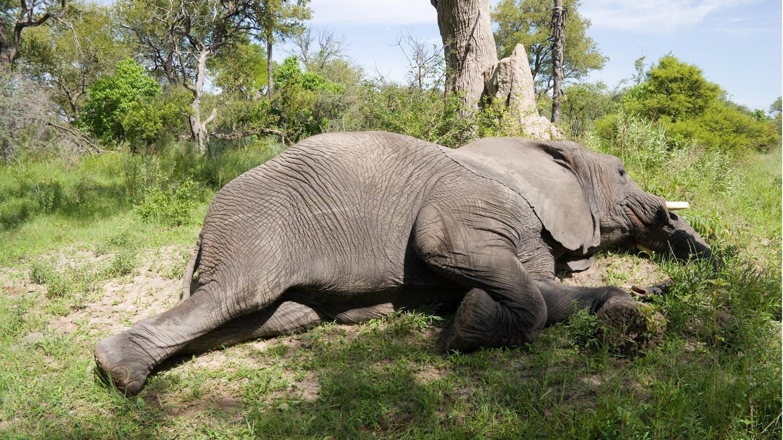 Revelada  misteriosa morte de cerca de 300 elefantes no Botswana