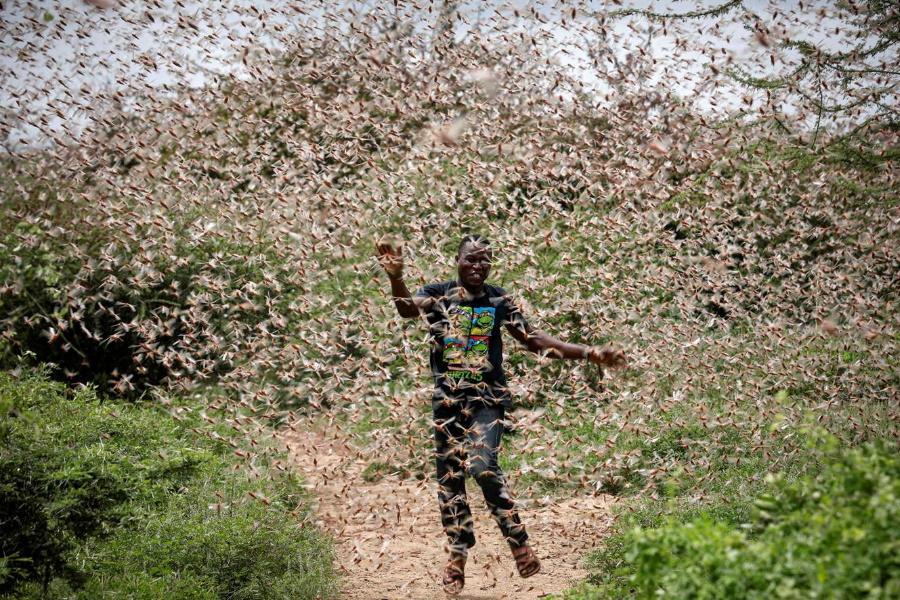 Impressionantes imagens de uma das piores pragas de gafanhotos no Quénia