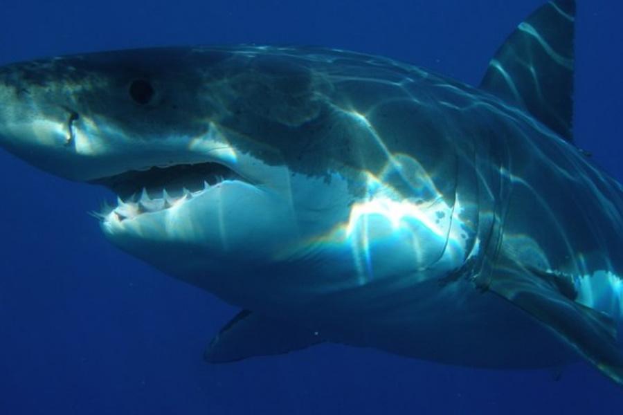 Tubarão ataca mergulhador