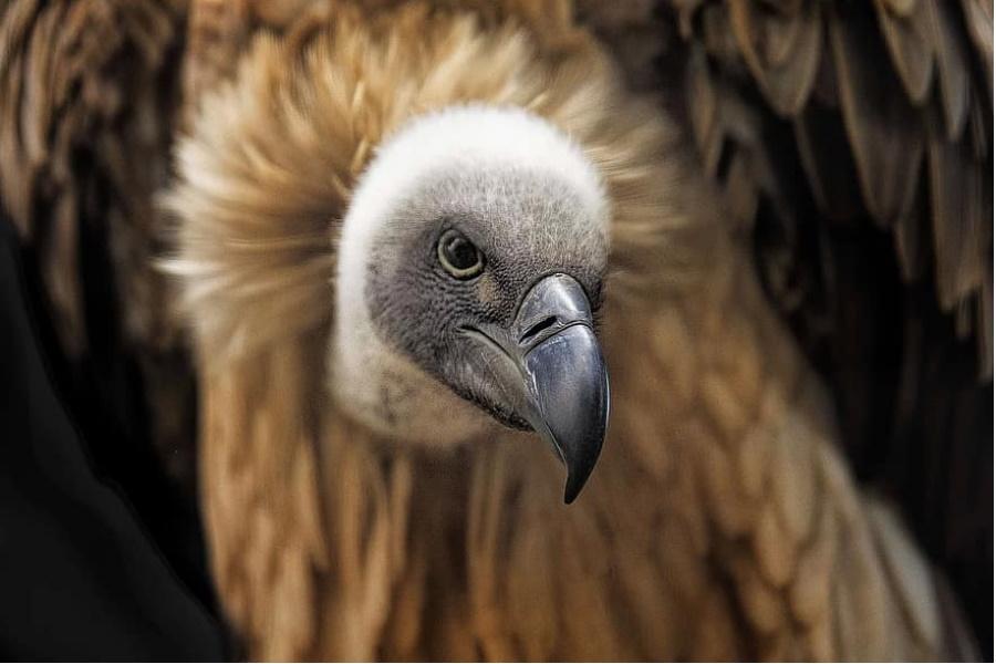 Dezenas de abutres ameaçados de extinção morrem envenenados no Botsuana