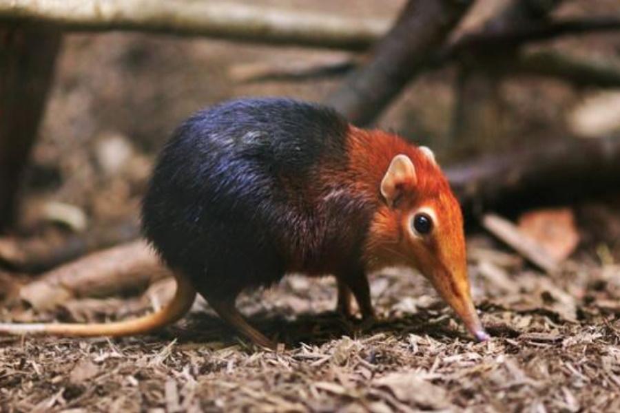 Feneco, o pequeno e peculiar animal orelhudo